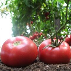 Грифон F1 семена томата индетерминантного (Nunhems / Нюнемс)
