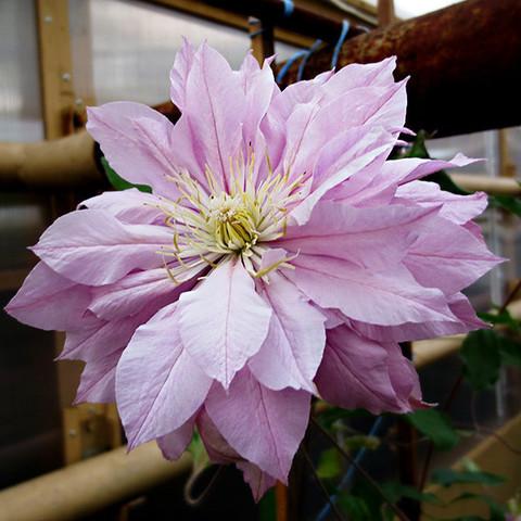 Клематис крупноцветковый Виолет Элизабет (Violet Elizabeth)