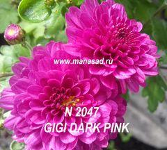 Хризантема мультифлора №947 GIGI DARK PINK