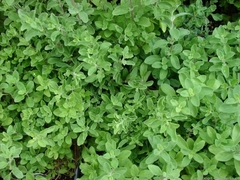 Массандра семена майорана (Гавриш)