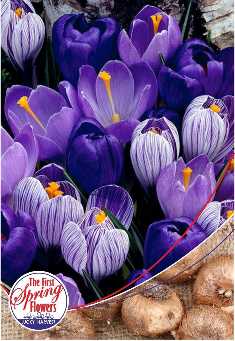 Луковицы Крокуса  крупноцветкового Blue Moon Crocus Mix (Блу Мун Смесь Крокусов) TM Jan de Wit en Zonen B.V. ( количество в упаковке 25 луковиц)