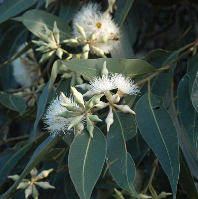 Травы Эвкалипт, лист eucalyptus-leaf-01.jpg