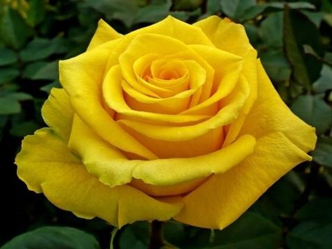Роза чайно-гибридная Керио (в тубе)