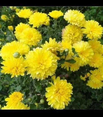 Хризантема жёлтая (корень)