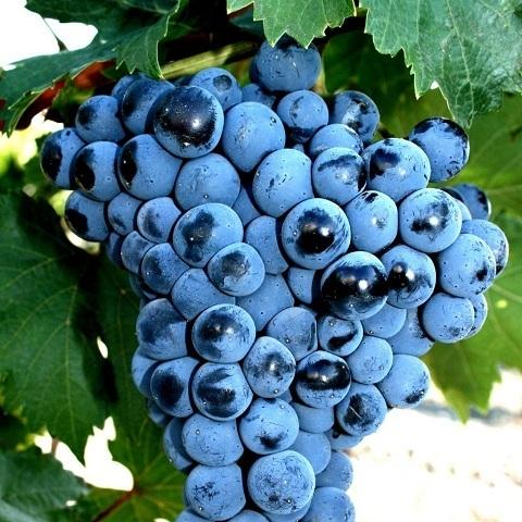Виноград сорт Оленьевский (неукрывной)