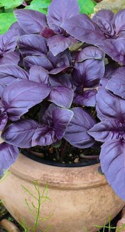 Семена Базилик Фиолетовый Арарат