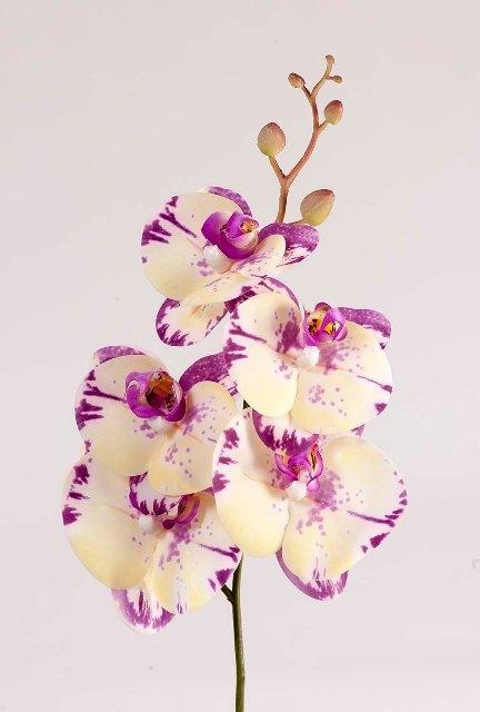 Орхидея фаленопсис фиолетово-кремовая
