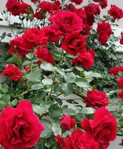 Роза плетистая Амадеус (в тубе)