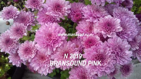 Хризантема мультифлора Bransound Pink N 2019