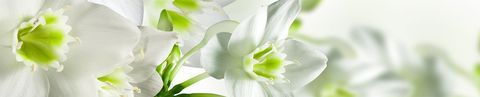 Нарциссы (фотопечать)