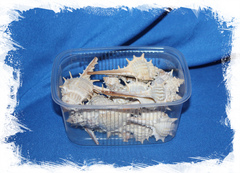 Декоративные морские ракушки для декора, поделок, рукоделия в морском стиле Мурекс Трапа