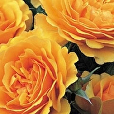 Роза флорибунда Амбер Куин С3