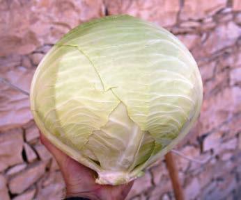 Белокочанная Файтер F1 семена капусты белокочанной (Sakata / Саката) ФАЙТЕР_F1.jpg