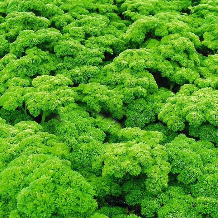 Петрушка Петра семена петрушки (Bejo / Бейо) петра_2.jpg