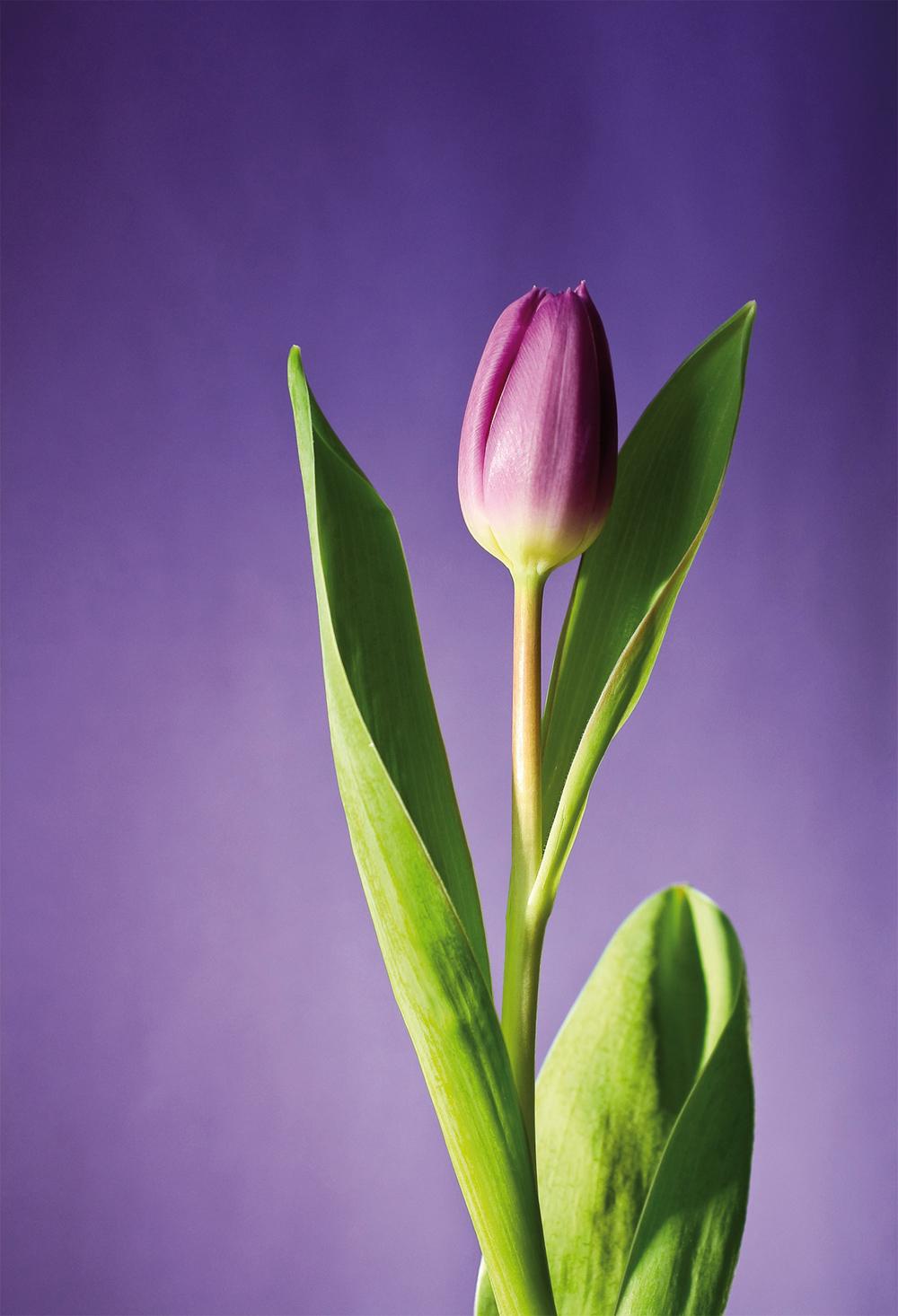 Папертоль Тюльпан в сиреневом — главное фото сюжета.