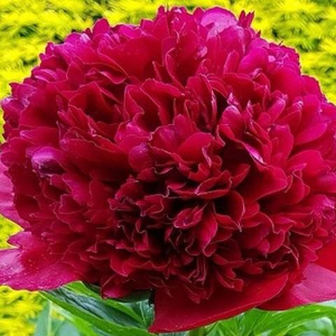 Пион молочноцветковый Адольф Руссо С5