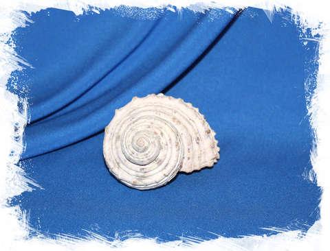 Раковина Турбо натуральная (Seashell Turban) 9 см.