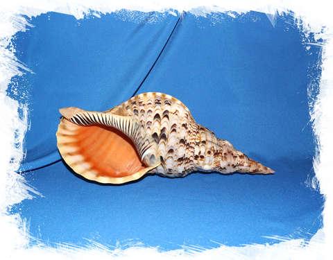 Харония Тритонис (Charonia tritonis) 33 см.