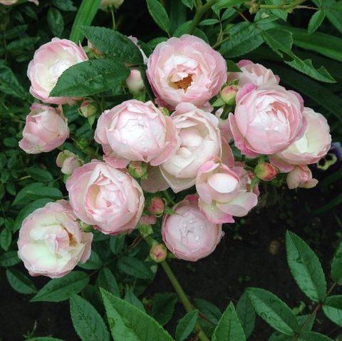 Пинк Мосдаг (Pink Morsdag)