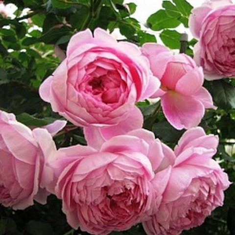 Роза английская душистая Алан Титчмарш С6