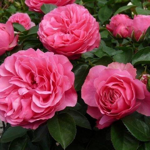 Роза флорибунда Леонардо да Винчи С6