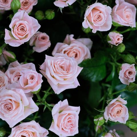 Розы кустовые нежно-розовые Lydia