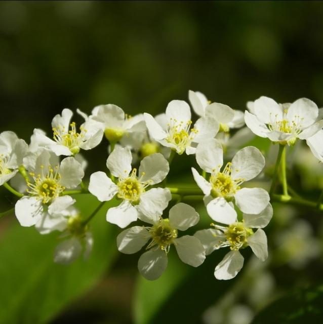 Травы Черёмухи цвет prunus-blossom-01.jpg