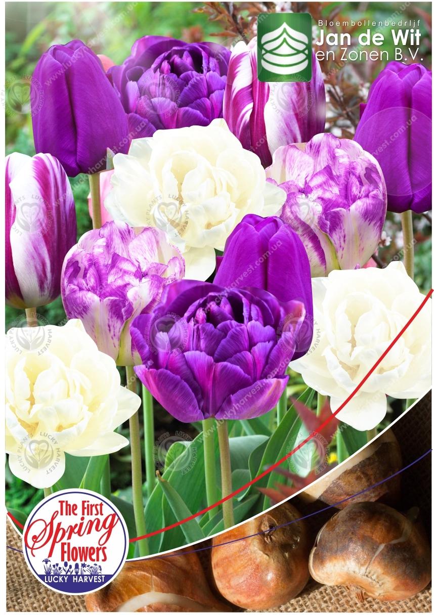 Луковицы Тюльпана Смесь Сортов