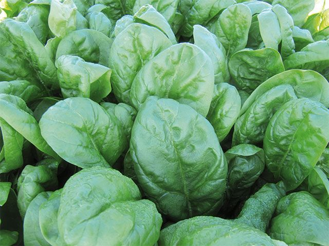 Шпинат Рэм F1 семена шпината (Enza Zaden / Энза Заден) Рэм_семена_овощей_оптом.jpeg