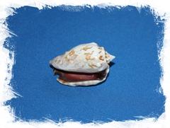 Стромбус Пипус