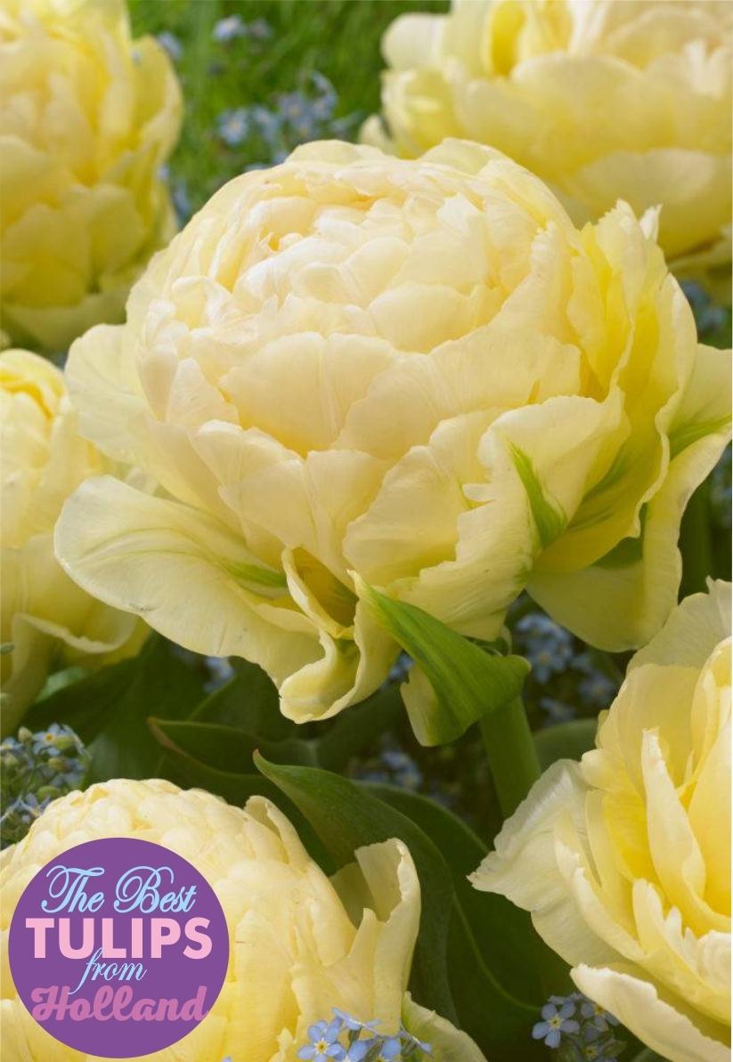Тюльпан махровый   Bowl of Beauty  ( Бовл оф Бьюти)