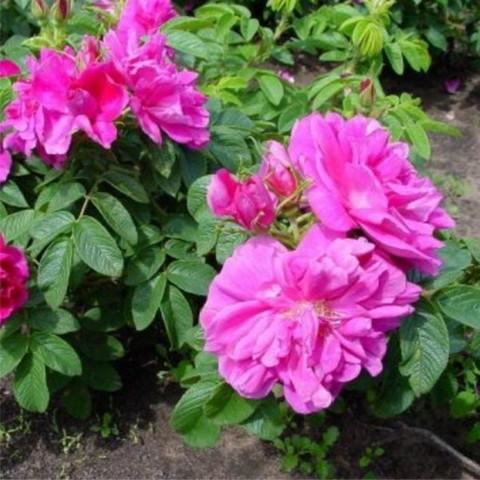 Шиповник (роза ругоза) морщинистый Рубра C5 40-60