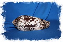 Конус ауликус (Conus aulicus)