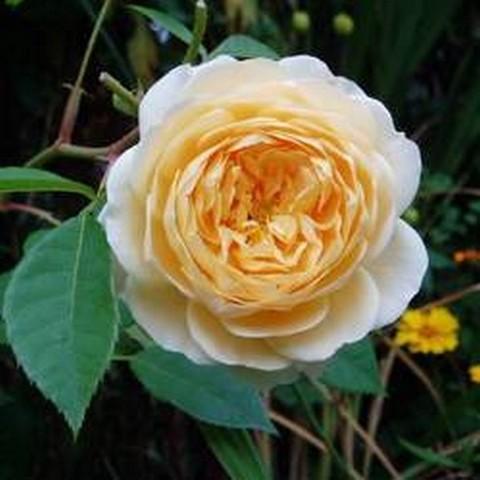 Роза английская душистая Тизинг Джорджия С6