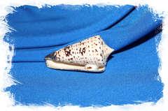 Конус талассиаркус (Conus thalassiarchus)
