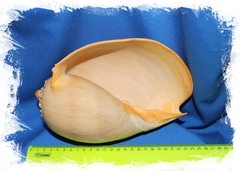 Раковина моллюска Мело Бродерипа размер