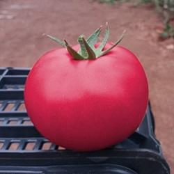 Розовый Пинк Кристал F1 семена томата индетерминантного (Clause / Клос) пинк_кристал.jpg