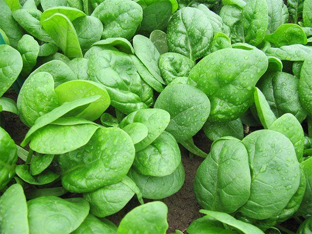 Шпинат Кугар F1 семена шпината (Enza Zaden / Энза Заден) Кугар_F1_семена_овощей_оптом.jpeg