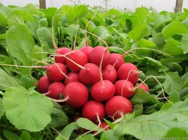 Каталог Рембо семена редиса (Гавриш) рембо.jpg