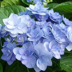 Гортензия крупнолистная Романс Блю Romance Blue