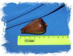 Конус фигулинус (Conus figulinus) размер