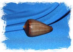 Конус фигулинус (Conus figulinus)