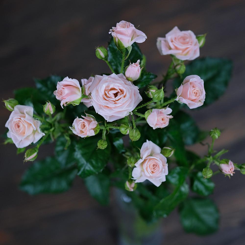 Розы кустовые нежно-розовые Lydia от 7шт