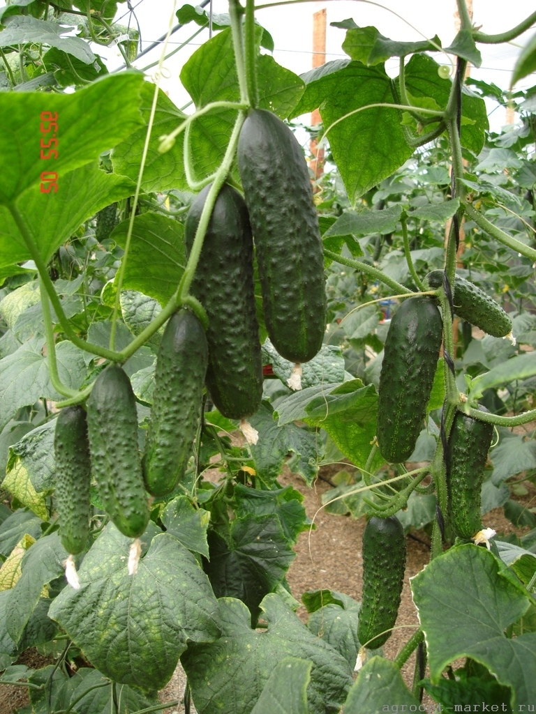 Nunhems Урано F1 семена огурца партенокарпического (Nunhems / Нюнемс) урано.jpg