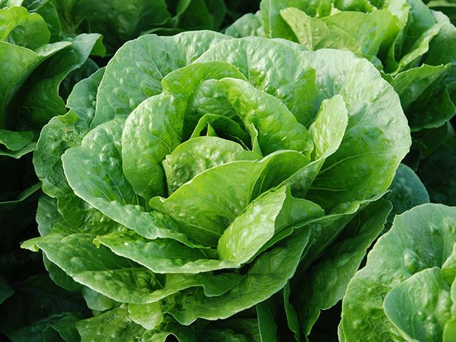 Салат Бацио семена салата ромэн (Enza Zaden / Энза Заден) Бацио.jpeg