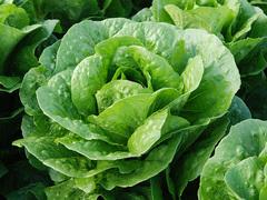 Бацио семена салата ромэн (Enza Zaden / Энза Заден)