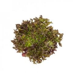 Бинекс семена салата саланова (Rijk Zwaan / Райк Цваан)