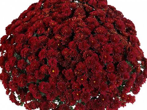 Хризантема мультифлора  Meridian Dark Red N 2097