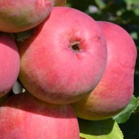 Яблоня осенний сорт ВЭМ розовый