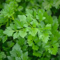 Риалто семена петрушки (Bejo / Бейо)